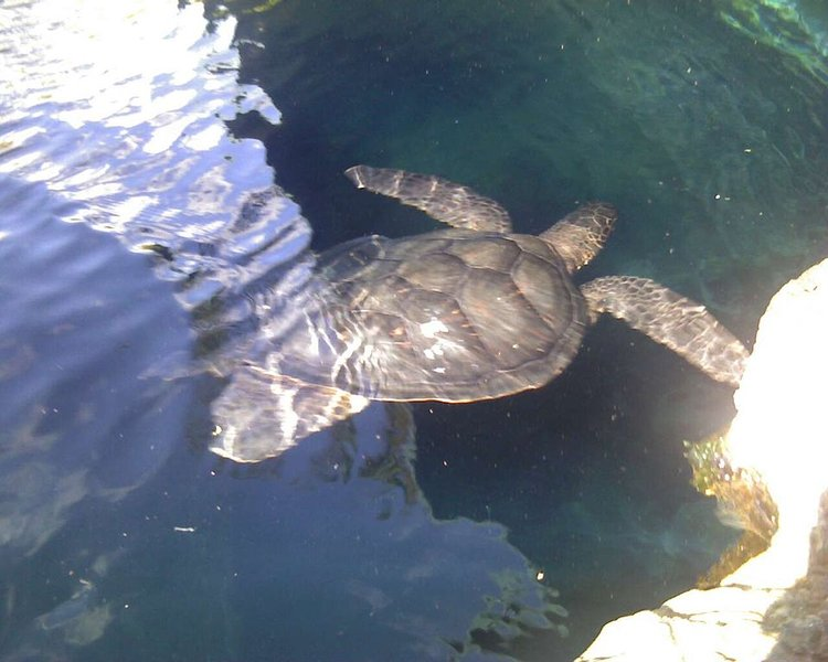 The turtles at the seawall looking for dinner