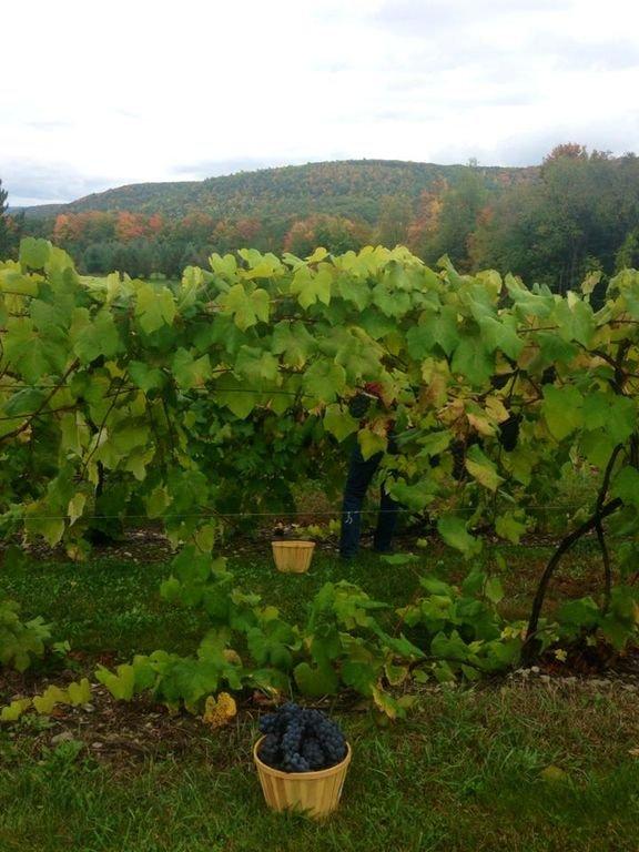 Los huéspedes pueden recoger uvas para su propio disfrute.