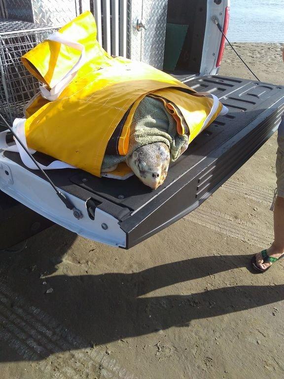La tortue de mer Ridley de Kemp blessée a été sauvée du banc de sable le 20/08/19