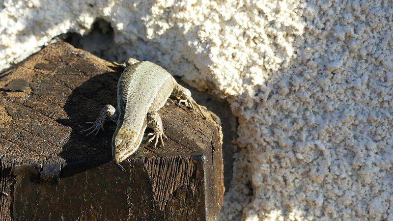 los lagartos también aman el sol