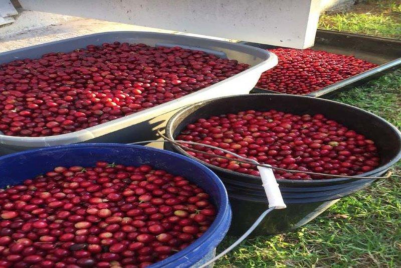 100% de café Kona cultivé à la ferme Kona Mauna Kai