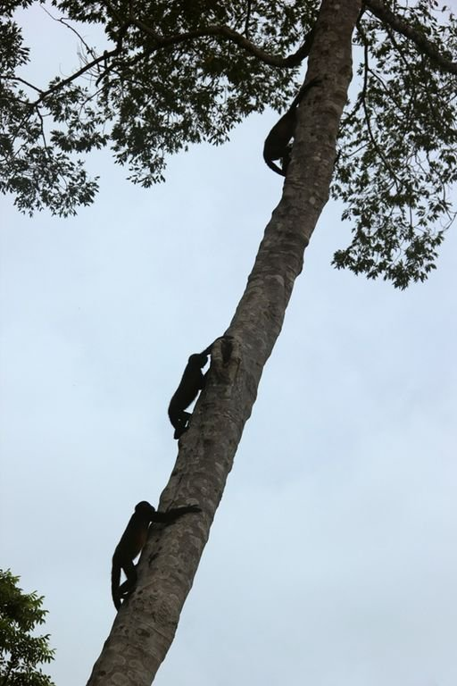 3 monkeys climbing up the tree in the yard by the pool.