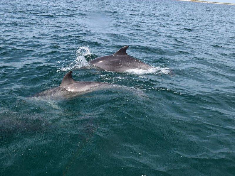 Dolphins in front of the Clos de la Pointe Saint-Mathieu ****