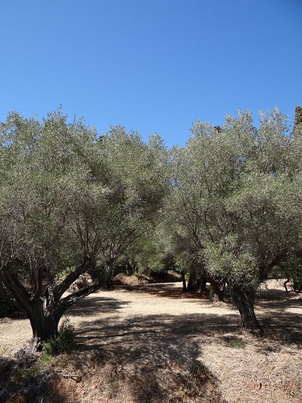 Bicentennial olive grove seen from bedroom n ° 2