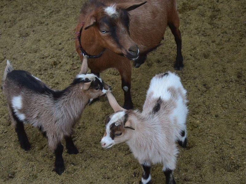 Sem brincadeiras! Não podemos prometer bebês de cabra, mas geralmente os temos!