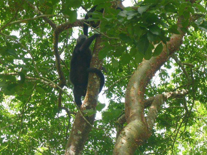 Explorez les jungles du Belize. Singes hurleurs!