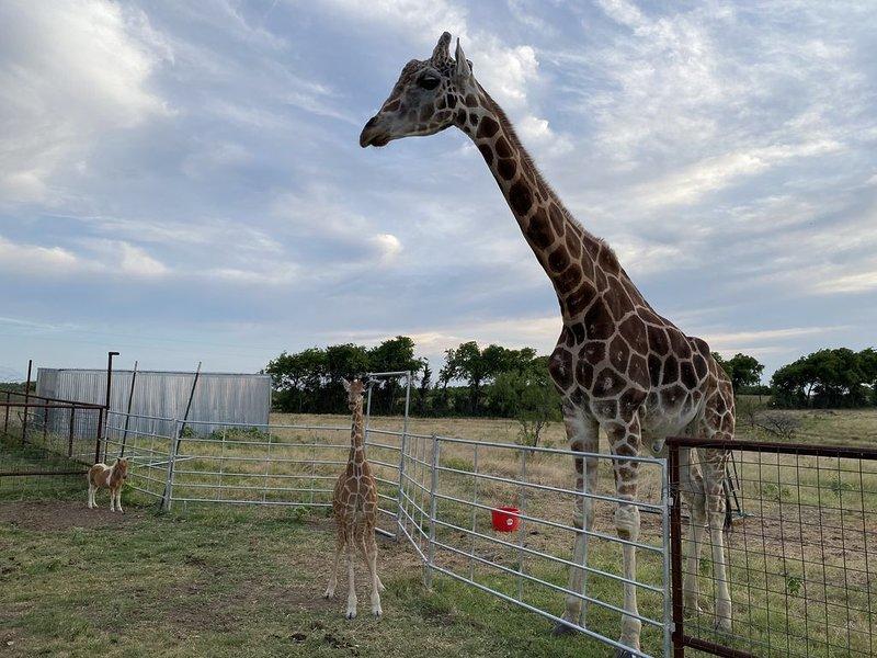 Giraffe-inspired Cabin, Nestled inside a Giraffe & Animal Sanctuary, location de vacances à Morgan's Point Resort