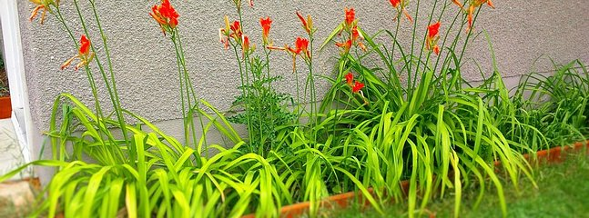 lilies :)