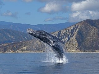 Humpback whale breaching in sea of Cortez.   Fabulous wildlife!