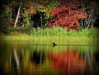 Solitary loon on Great Moose Lake with early autumn colors reflecting Fall 2013.