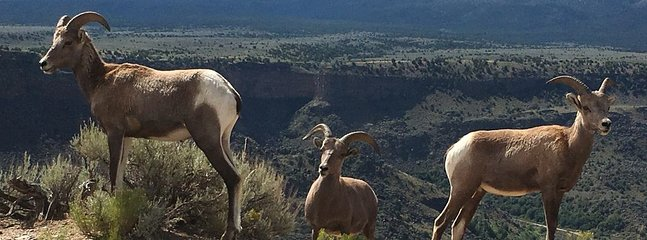 Big horn sheep while hiking  the Rio Grande River Gorge near Dixon