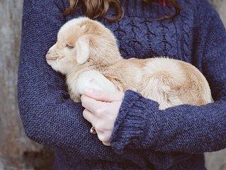 Stay On A Farm!  Milk A Goat!