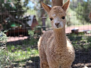 Mystic Pines Alpaca Ranch, Close to Grand Canyon