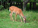 Take a drive through Cades Cove and enjoy wildlife sightings such as deer, fox, bear, turkeys & more