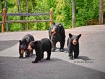 Our guests at A Window to Paradise love seeing the bears at the cabin. Momma and 3 cubs.