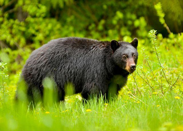 Just another local.  Bears are cute but please don't feed them.