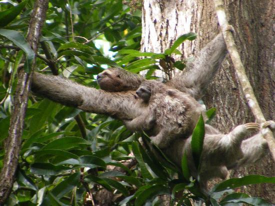 Mom and baby Sloth