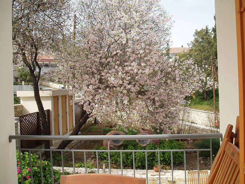 February Almond Trees in Bloom
