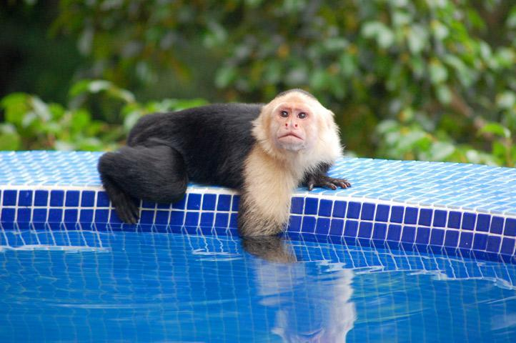 White-faced (Capuchin) monkey visiting the poolside