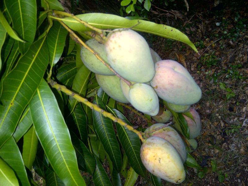 Mangoes at the villa