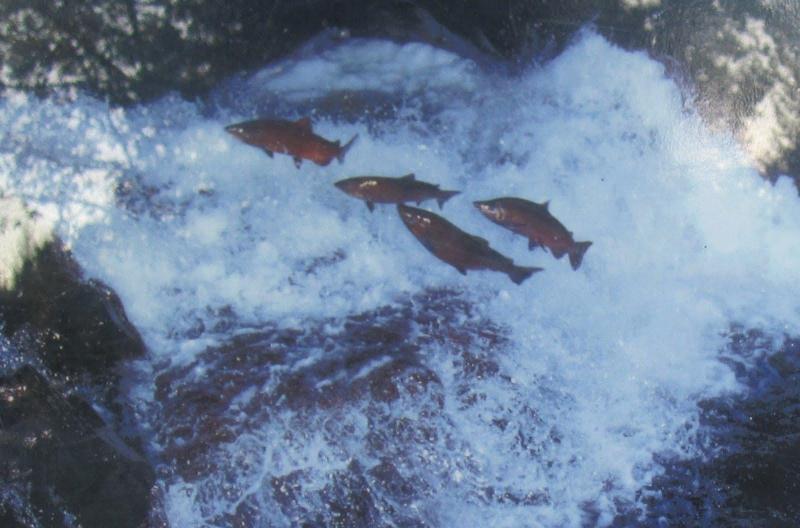 In August Salmon Return to Valemount's Swift Creek and the Upper Fraser River.