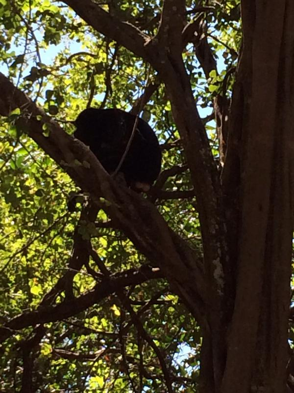 Howler Monkey frolicking above the building