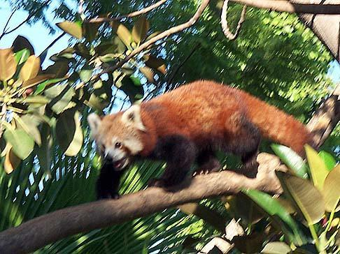 This is the best animal of all, the Red Panda....