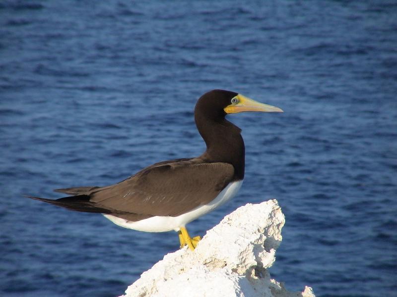 Cayman Brac Booby vogels