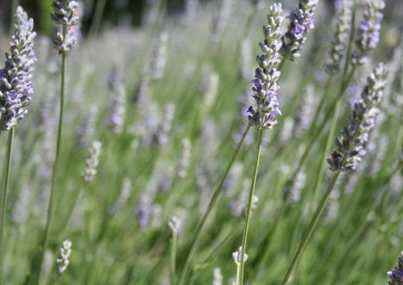 Lovely fragrant lavender beds.