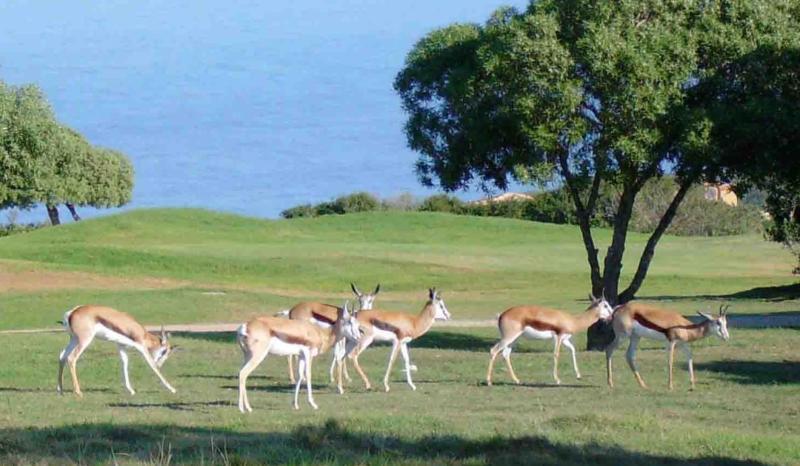 Antelope (Springbuck) grazing in front of Fairways