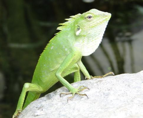 Beautiful green lizard