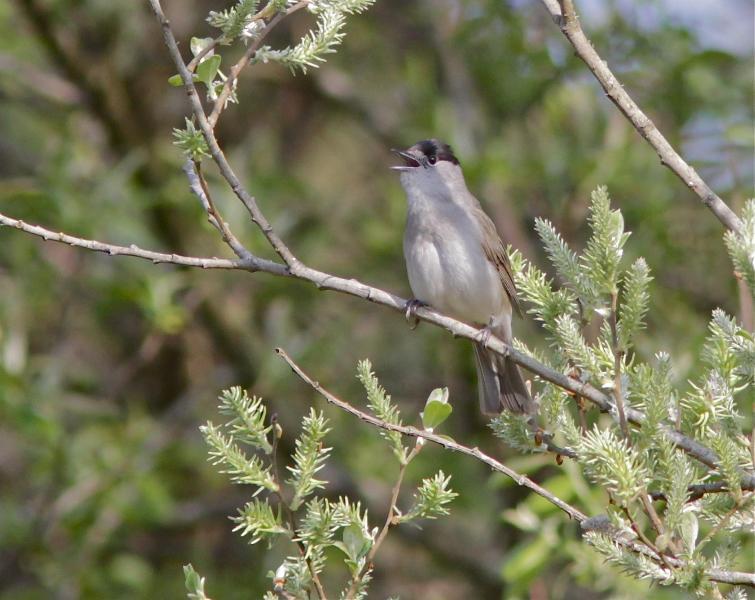 Blackcap. Regular visitor to our garden. Specimen bird.