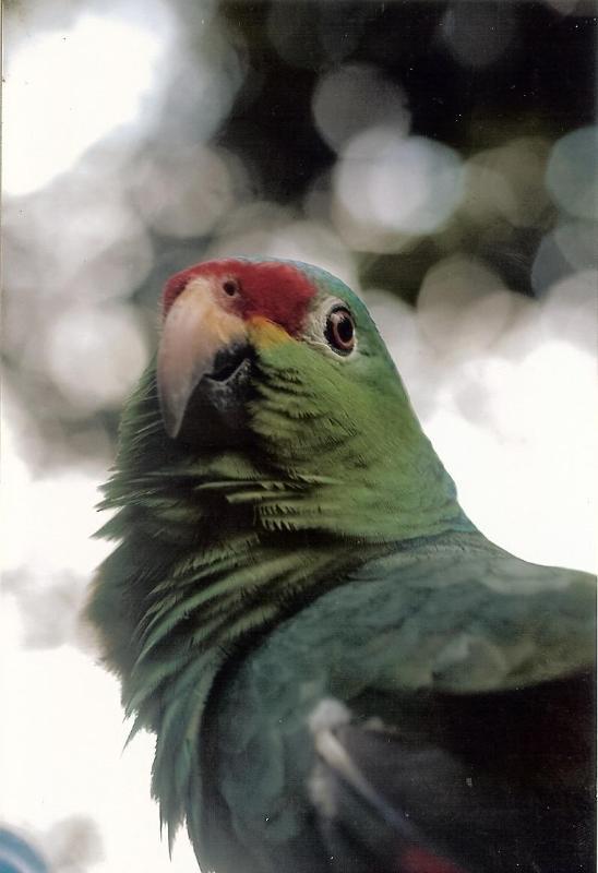 Rainforest Parrot