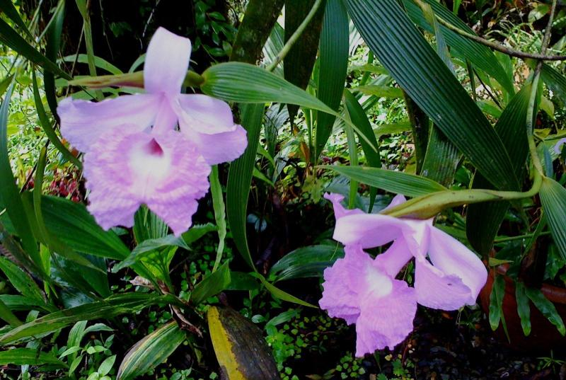 Orchid National FLower of Costa RIca