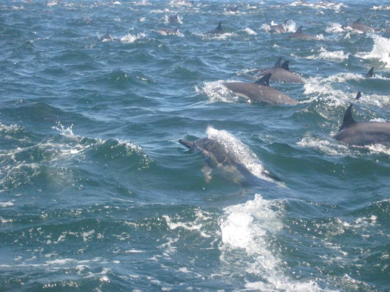 Les dauphins font leur chose. Louer un bateau « panga » avec le capitaine de sortir sur l'eau est un must.