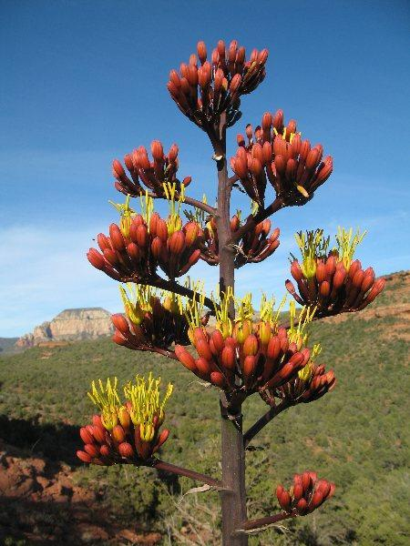 Agave kaktus knoppar