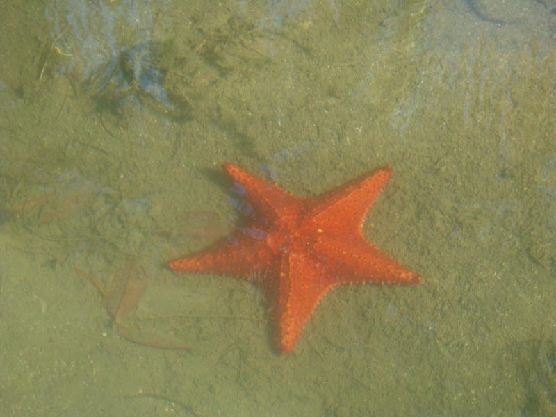 Placencia has many starfish