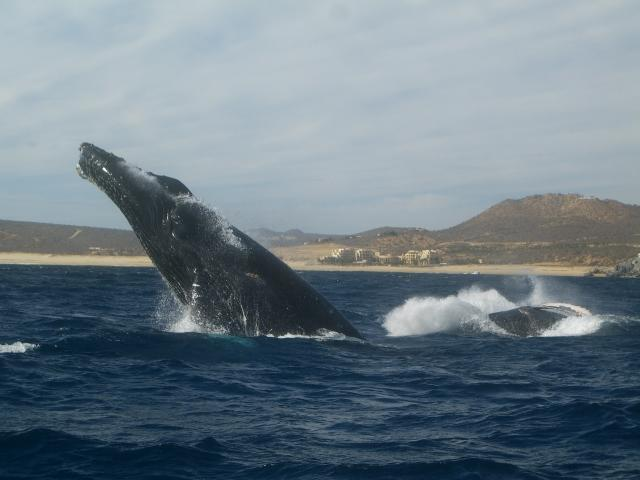 Observation des baleines à Cabo