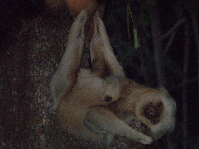 2 toed sloth doing what it loves to do - sleep