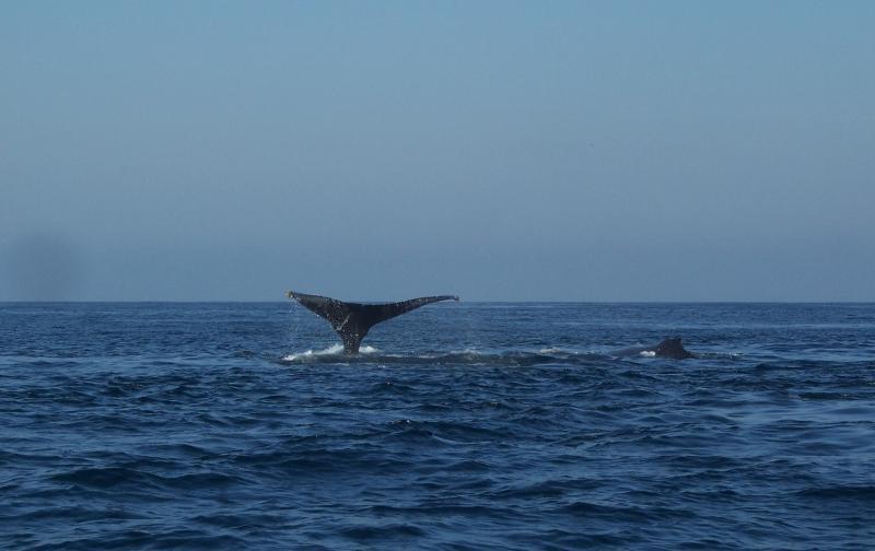 Overvloedige walvissen maken voor een spannende dag op de oceaan of horloge vanaf het balkon. Ik nam deze 12/2010