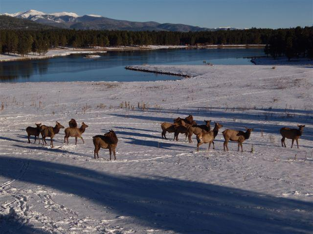 A herd of elk off the back deck during Thanksgiving
