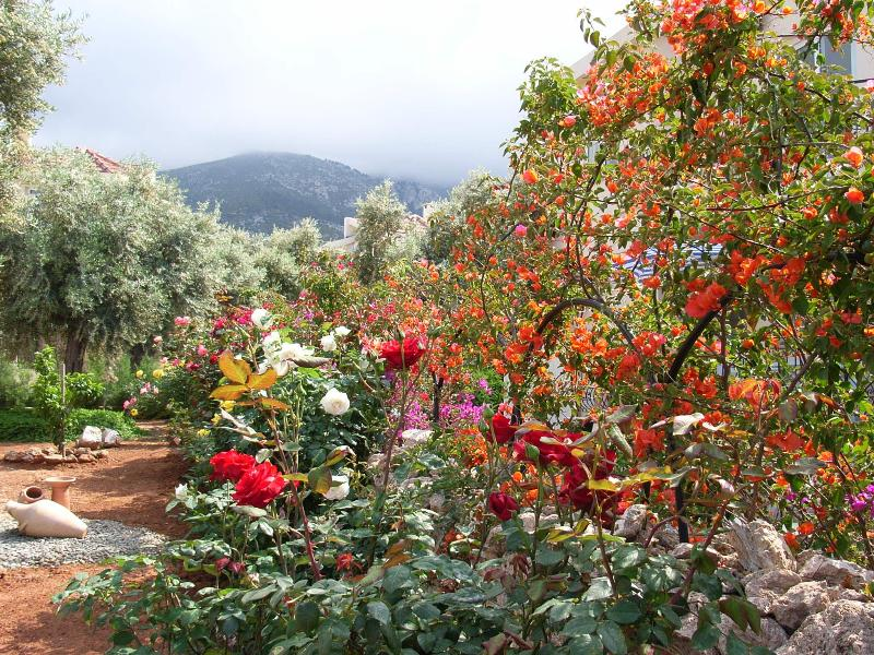 Mature front garden with Roses and Bougainvillea. Orange, Lemon and Olive trees.