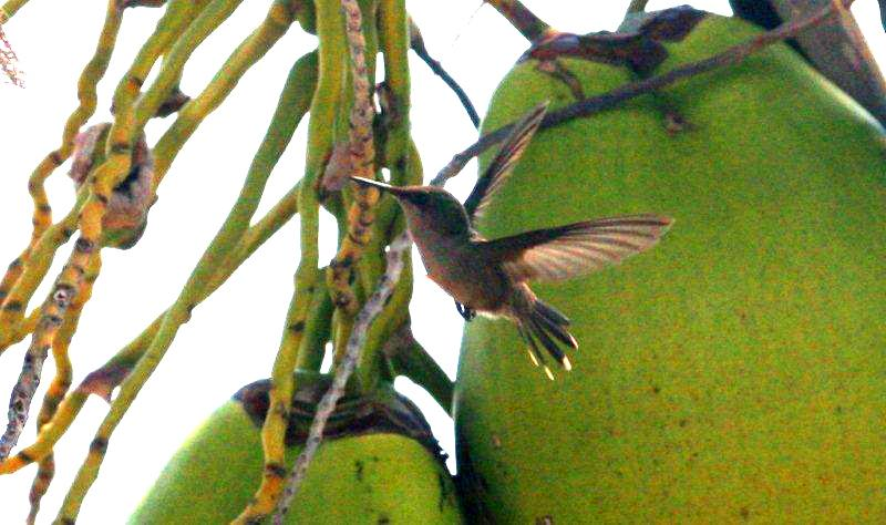 Hummingbird between the coconuts in the garden at Seascape Beach House