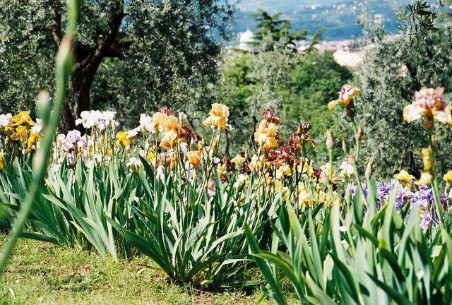 may - iris show in florence