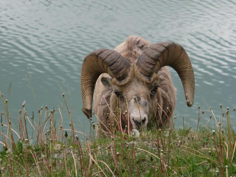 a ram on the side of the road driving up to Maligne Lake