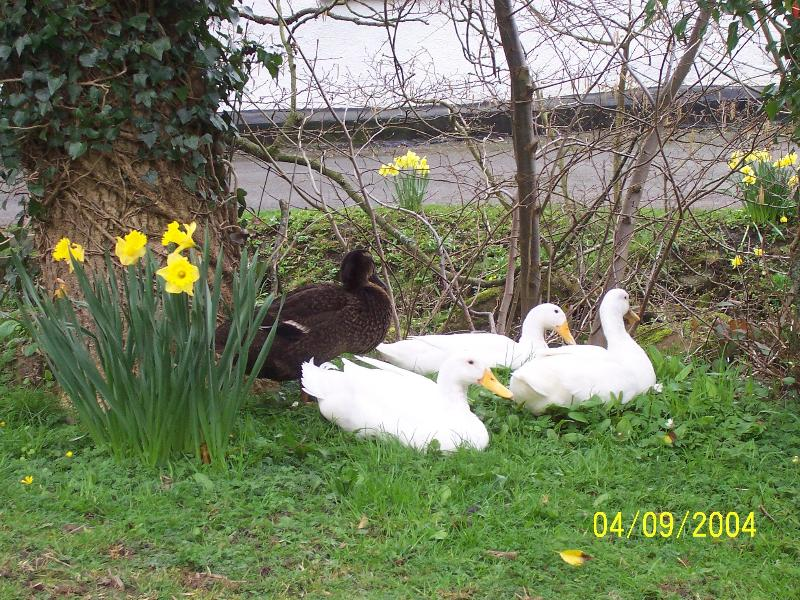 Our Puddle Ducks in the Spring