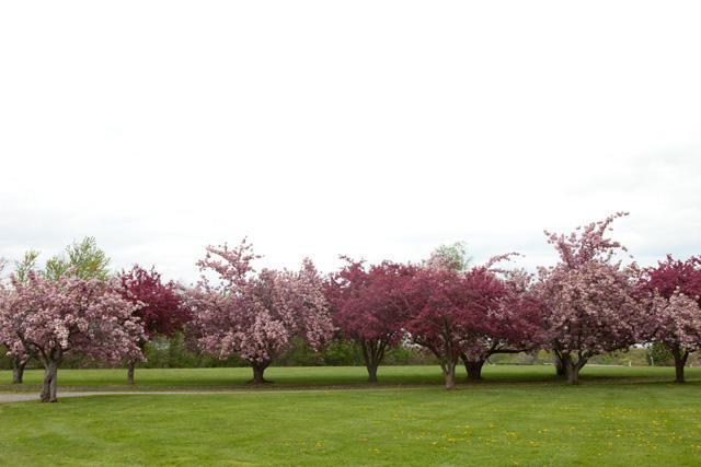 Cherry Blossoms in Season