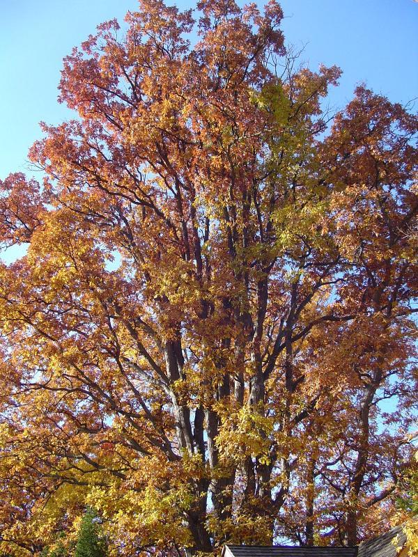 El árbol de roble en su gloria del otoño