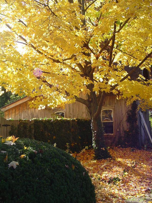 The maple in autumn