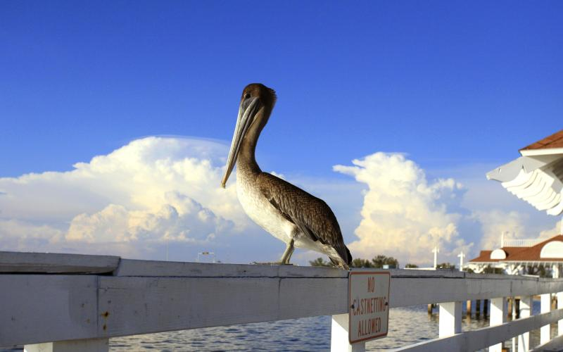 All the clumsy actions on the ground dissappear when this pelican takes flight.